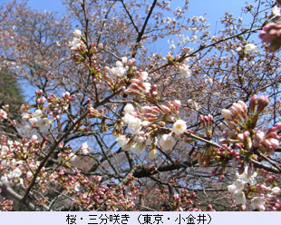 tokoton-15a_sakura2.jpg